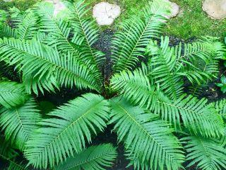 David B. Seaburn/ferns in the rain