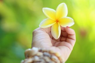 https://pixabay.com/en/hawaii-plumeria-tropical-flower-2042053/