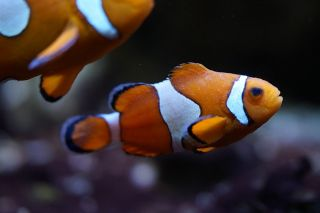 Scaring Nemo?