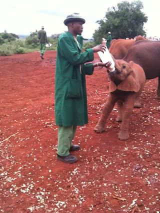 Traumatized elephant and caregiver at David Sheldrick Wildlife Trust (Hope Ferdowsian)