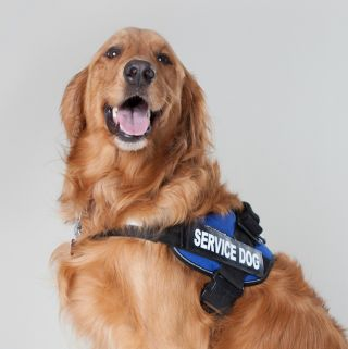 Image of: Delta Psychology Today Service Dog Certifications Is There An Epidemic Of Fake Service Dogs Psychology Today