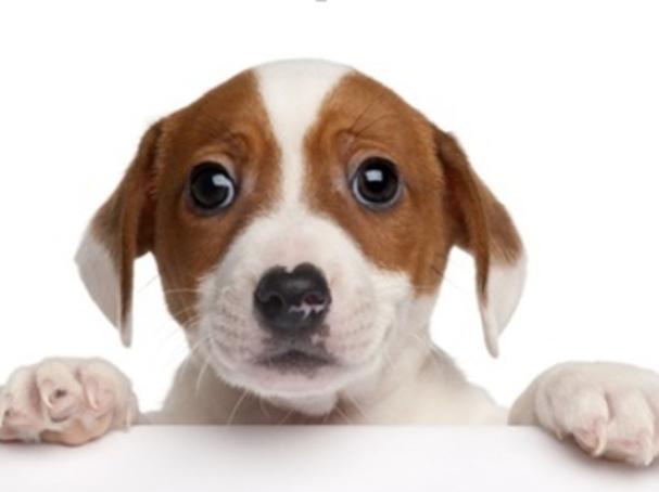 A Designer Dog Maker Regrets His Creation Psychology Today