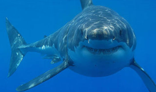 By Hermanus Backpackers (Great White Shark Cage Diving) [CC BY 2.0]