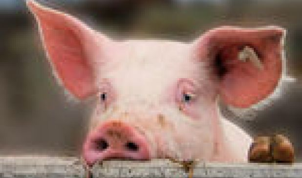 Are Pigs as Smart as Dogs (and Does It Matter)?