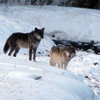 The Lamar Canyon Pack alphas, black 755M and gray-furred 832F, on a snowy bank..