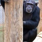 Do Chimpanzees Like Music?