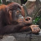 Apes, fairness and how this blog was suspended