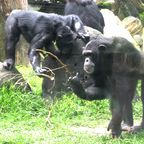 Why chimpanzees would dance to Johnny Cash's music