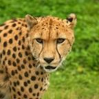 The Cheetahs of Self Control