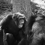 Is Lethal Violence an Integral Part of Chimpanzee Society?