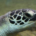 Saga of the Sea Turtle Part II: The Epic Migration
