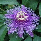 Passionflower By Wikijasha (Own work) [Public domain], via Wikimedia Commons