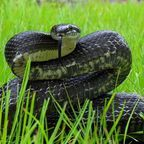 Black Rat Snake by Stephen Lody Photography via Wikimedia Commons