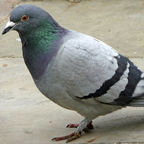 Rock Dove by Christine Matthews via Wikimedia Commons