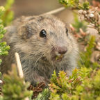 "photo credit: Sander van der Wel <a href=""http://www.flickr.com/photos/40803964@N08/4612944852"">Lemming</a> via <a href=""http://photopin.com"">photopin</a> <a href=""https://creativecommons.org/licenses/by-sa/2.0/"">(license)</a>"
