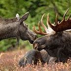 Moose pair, U.S. Fish and Wildlife Service, Public Domain