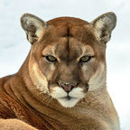 Cougar Smug/Wikipedia Commons