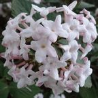 Viburnum Blossom Photograph Copyright © 2016 By Susan Hooper