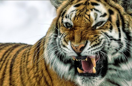 Tiger Or Hands Off Mom Both Types >> What Do Chinese Americans Think Of Amy Chua S Tiger Mother