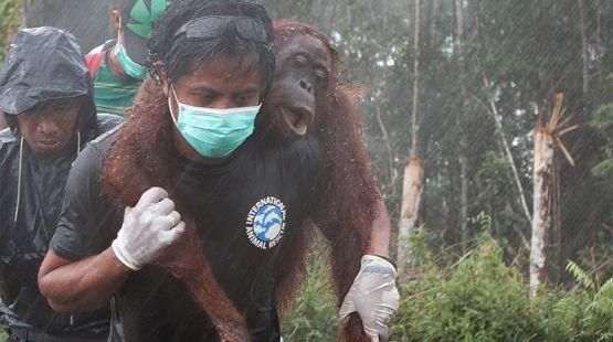 Rescuing homeless orangutans