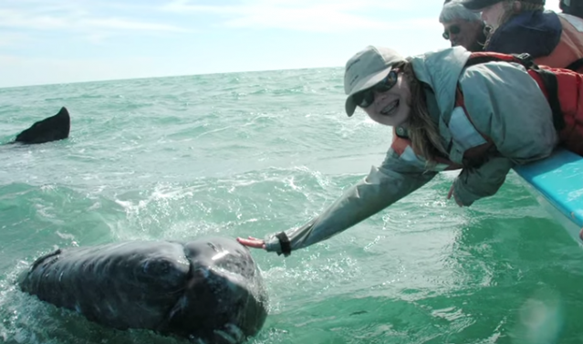 Josh Horwitz's daughter with a gray whale in Baja