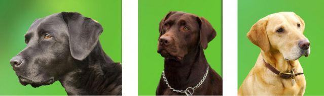 dog canine labrador retriever devil black yellow brown adopt