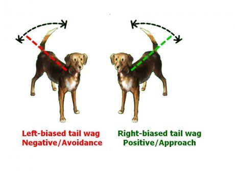 dog dogs canine canines tail wag language signal side laterality right left