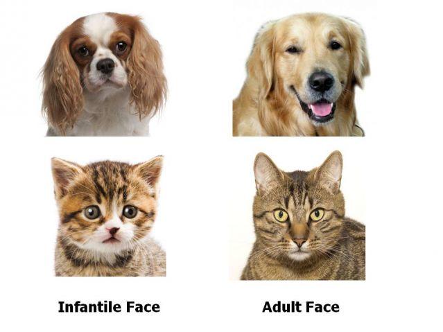 dog cat pet face shape neoteny infantile adult change development