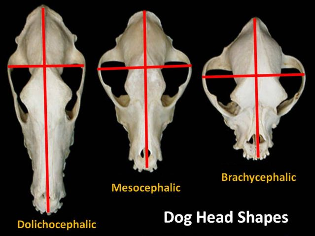 Is A Dog S Head Shape Related To His Intelligence