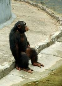 I do fantasize about living with chimps in Tanzania