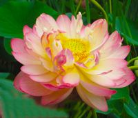 fully blossomed lotus