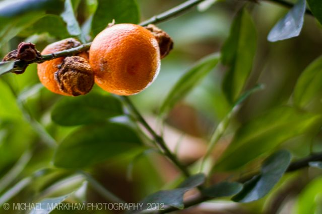 Oranges on the tree. In various stages of life and death