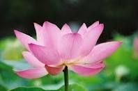 meditation, lotus, spirituality