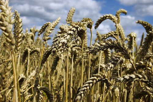 Wheat and Schizophrenia