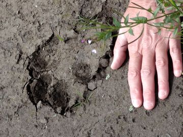 This wolf pawprint is as big as a human hand.