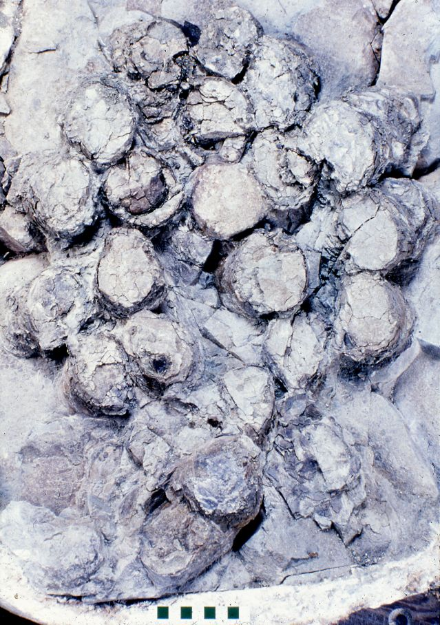A clutch of Troodon eggs from Montana