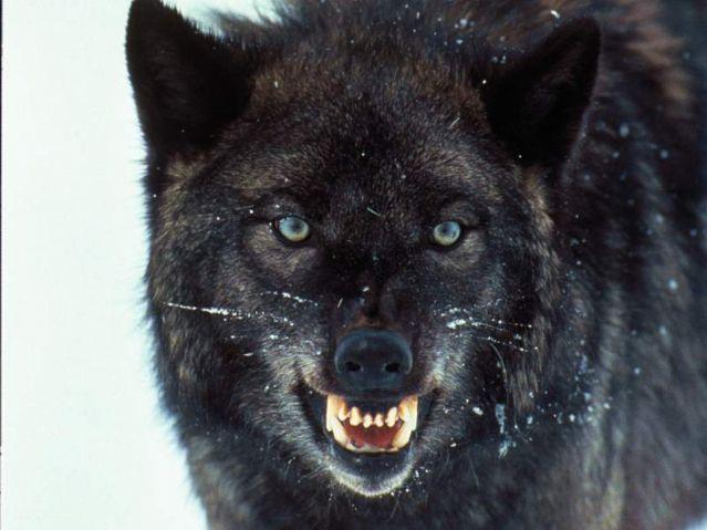 A fierce wolf