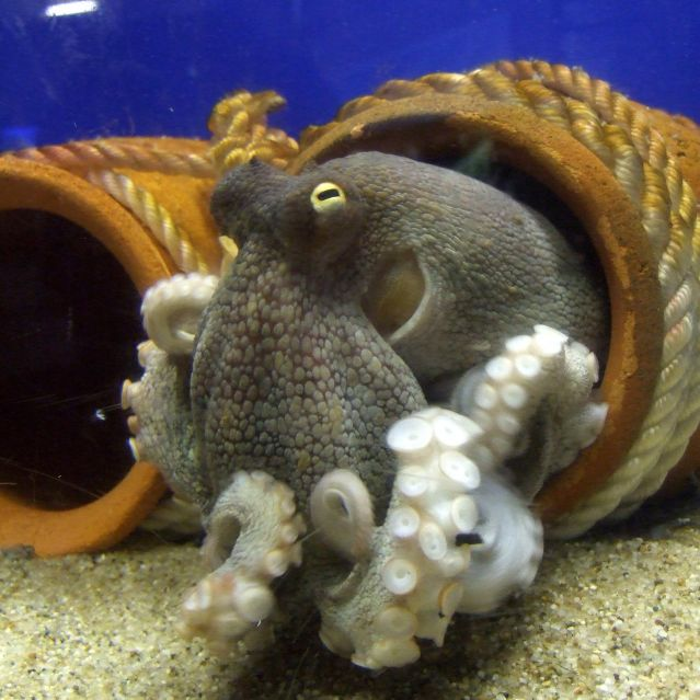 What Is It Like To Be An Octopus Psychology Today