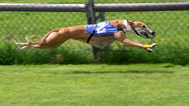 Could Dogs Be The Fastest Land Animals In World