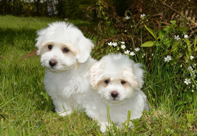 Image of: Dog Breed Jaclou Photo Creative Commons License Cc0 Psychology Today Live Love Live Again Barbra Streisands Cloned Dogs Psychology