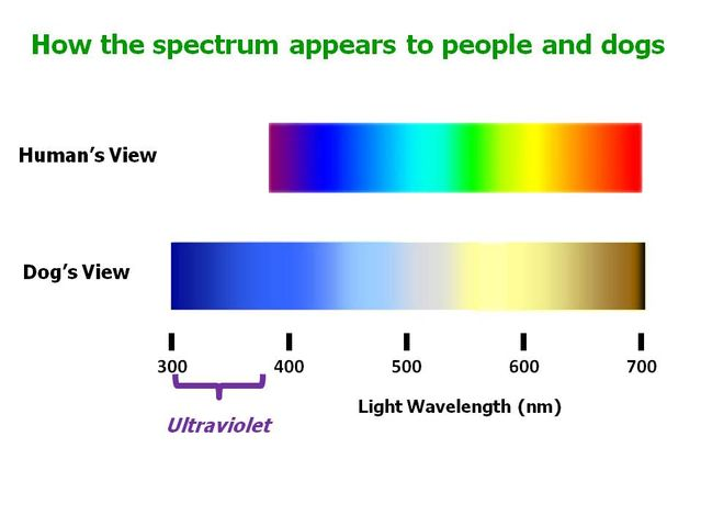Can Dogs See in Ultraviolet?
