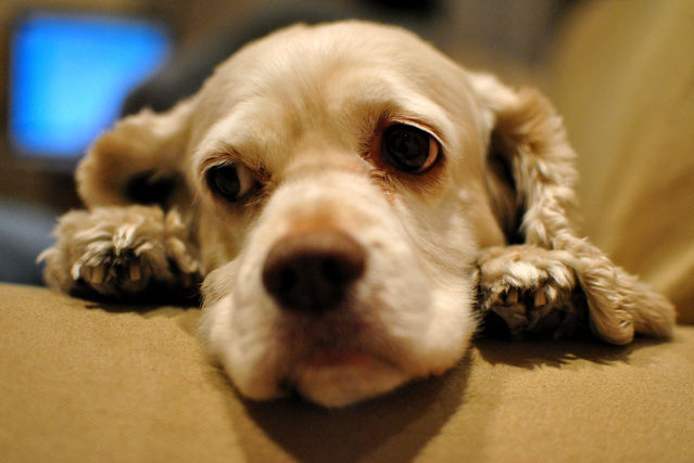 Can a Dog Really Suffer From Depression?