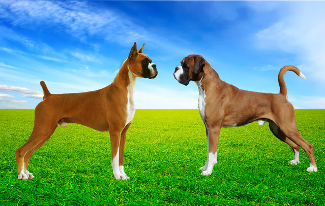 How People Perceive Dogs With Docked Tails And Cropped Ears