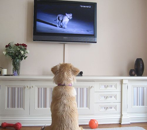 Dog Ate Corner Of Rug: Can Dogs Learn By Watching Television?