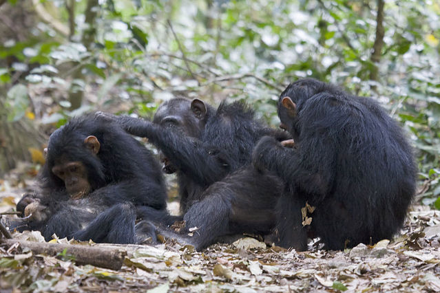 chimpanzee essay conclusion