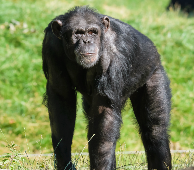 what can chimps teach us about strength psychology today