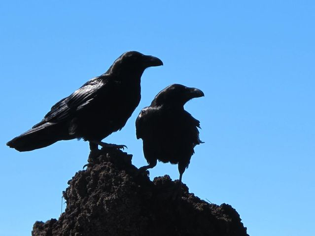 Crows Make Up After Fighting, Then Seek Consolation