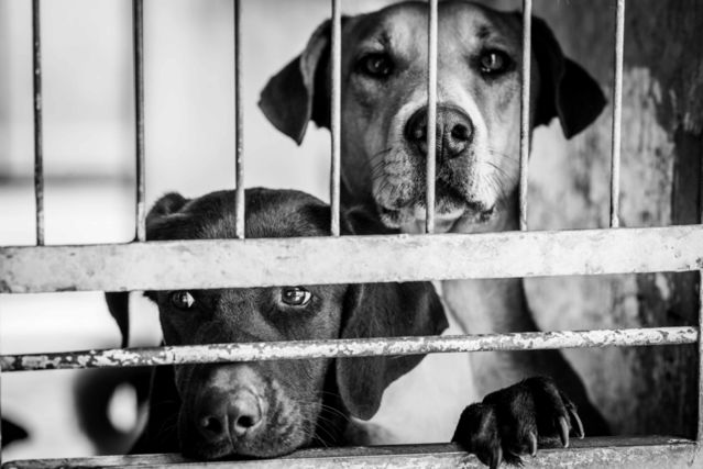 The Puzzling Geography of Animal Shelter Dog Euthanasia