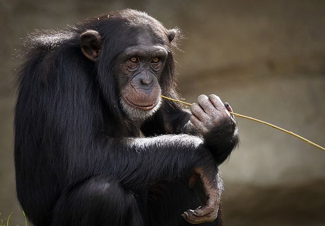 New Chimpanzee Culture Discovered, Others Lost Due to Humans