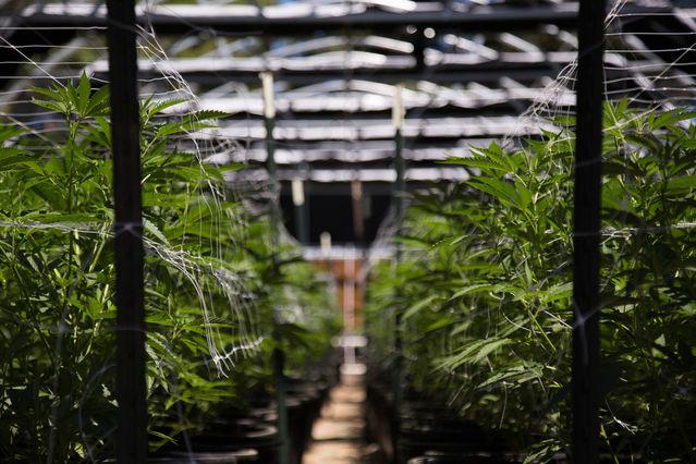 New Risks in Smoking Marijuana, Especially High-Potency Weed